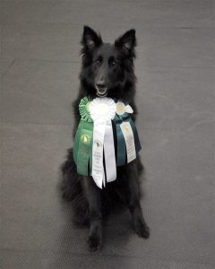Belgian shepherd wearing qualifying ribbons, Georgia Canine Coalition, dog, law, legislation, fair, donate