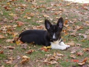 Corgi puppy, Georgia Canine Coalition, dogs, laws, legislation,